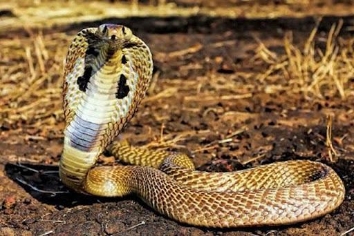 Ý nghĩa của giấc mơ về rắn