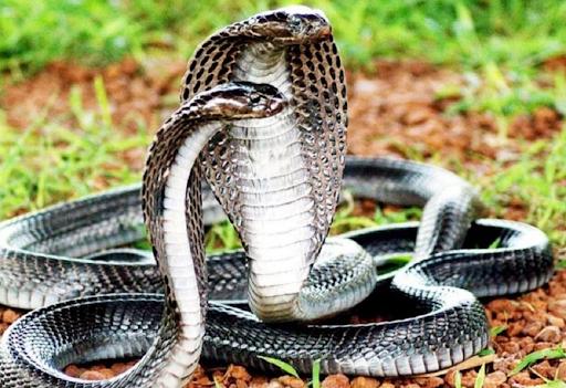 Mơ về 2 con rắn